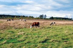 Mucche da latte Immagine Stock Libera da Diritti