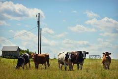 Mucche da latte fotografia stock