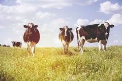 Mucche da latte alla campagna, con il bello cielo nei precedenti immagini stock