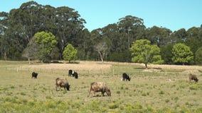 Mucche da latte che pascono erba di fioritura su un campo del ` s dell'azienda agricola archivi video