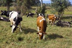Mucche da latte che pascono nel campo immagini stock