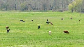 Mucche da latte che pascono nel prato verde fertile archivi video