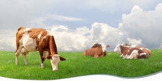 Mucche da latte che pascono in un prato Fotografia Stock Libera da Diritti