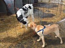 Mucche da latte che toccano i nasi con un cane fotografia stock