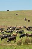 Mucche da latte con le balle di fieno Fotografia Stock