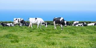 Mucche da latte in Cornovaglia Fotografia Stock Libera da Diritti