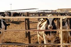 Mucche da latte dell'Holstein in penne d'alimentazione all'aperto nel Texas Fotografie Stock