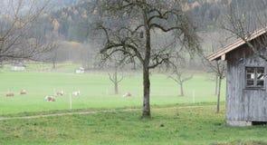 Mucche da latte in foschia di mattina Immagini Stock