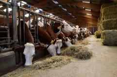 Mucche da latte in stalle immagine stock