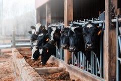 Mucche da latte in un granaio immagine stock
