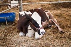 Mucche da latte in una stalla per agricoltura industriale fotografie stock