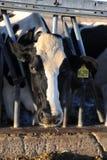 Mucche da latte in una stalla su un'azienda agricola Fotografia Stock Libera da Diritti