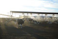 Mucche da latte in una stalla su un'azienda agricola Fotografie Stock Libere da Diritti