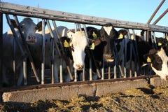 Mucche da latte in una stalla su un'azienda agricola Immagini Stock Libere da Diritti