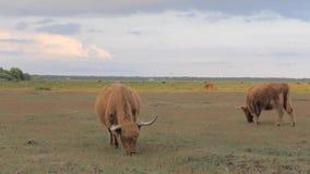 Mucche dai capelli lunghi con i grandi corni che pascono su un prato archivi video