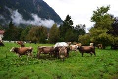 Mucche dai capelli rossi di camminata in un prato contro un fondo di moun fotografia stock