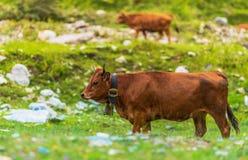 Mucche dal lato della montagna Fotografie Stock Libere da Diritti