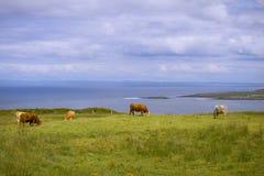 Mucche dalla spiaggia Immagini Stock Libere da Diritti