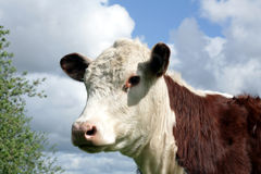 Mucche danesi immagini stock libere da diritti