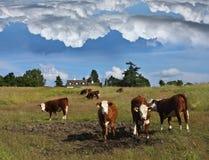 Mucche danesi immagine stock