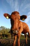 Mucche danesi Fotografia Stock Libera da Diritti