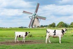 Mucche davanti al mulino a vento storico di Akkersloot fotografie stock libere da diritti