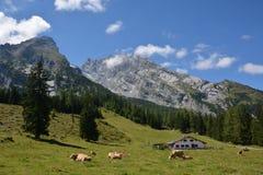 Mucche davanti alla montagna di Watzmann Fotografie Stock Libere da Diritti