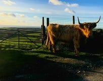 Mucche degli altopiani in campagna Fotografie Stock Libere da Diritti