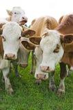 Mucche del bestiame Immagine Stock