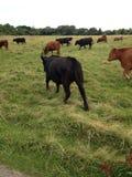 Mucche del bollitore a Cambridge immagini stock