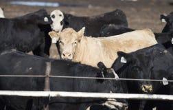 Mucche del foraggio nel letame e nel fango immagini stock