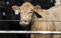 Mucche del foraggio nel letame e nel fango fotografia stock
