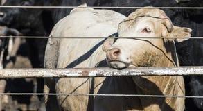 Mucche del foraggio nel letame e nel fango fotografie stock libere da diritti