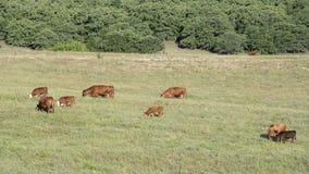 Mucche del gregge che pascono in Oklahoma Fotografia Stock Libera da Diritti
