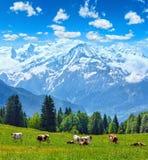 Mucche del gregge sulla radura e sulla montagna di Mont Blanc Fotografia Stock Libera da Diritti
