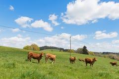 Mucche del Limosino Fotografia Stock Libera da Diritti