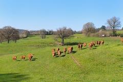 Mucche del Limousin nel paesaggio fotografie stock libere da diritti