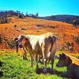 Mucche del MOO Immagini Stock