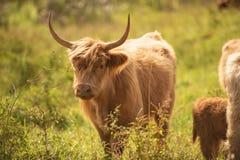 Mucche del paese fotografia stock