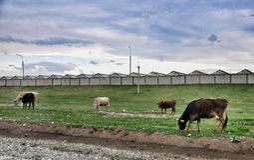 Mucche del pascolo Immagine Stock