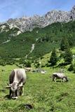 Mucche del Tirol Immagini Stock Libere da Diritti