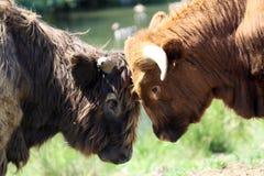 Mucche dell'abitante degli altipiani scozzesi Immagine Stock