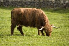 Mucche dell'altopiano Immagine Stock