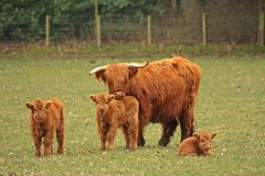 Mucche dell'altopiano Fotografia Stock