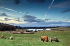 Mucche dell'altopiano che mangiano nel campo scozzese Immagine Stock