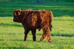 Mucche dell'altopiano della Scozia Immagini Stock Libere da Diritti