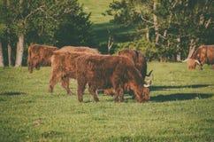 Mucche dell'altopiano della Scozia Immagine Stock Libera da Diritti