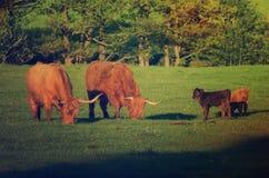 Mucche dell'altopiano della Scozia Fotografia Stock