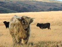 Mucche dell'altopiano su brughiera in sole immagini stock