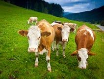 Mucche dell'ayrshire Fotografia Stock